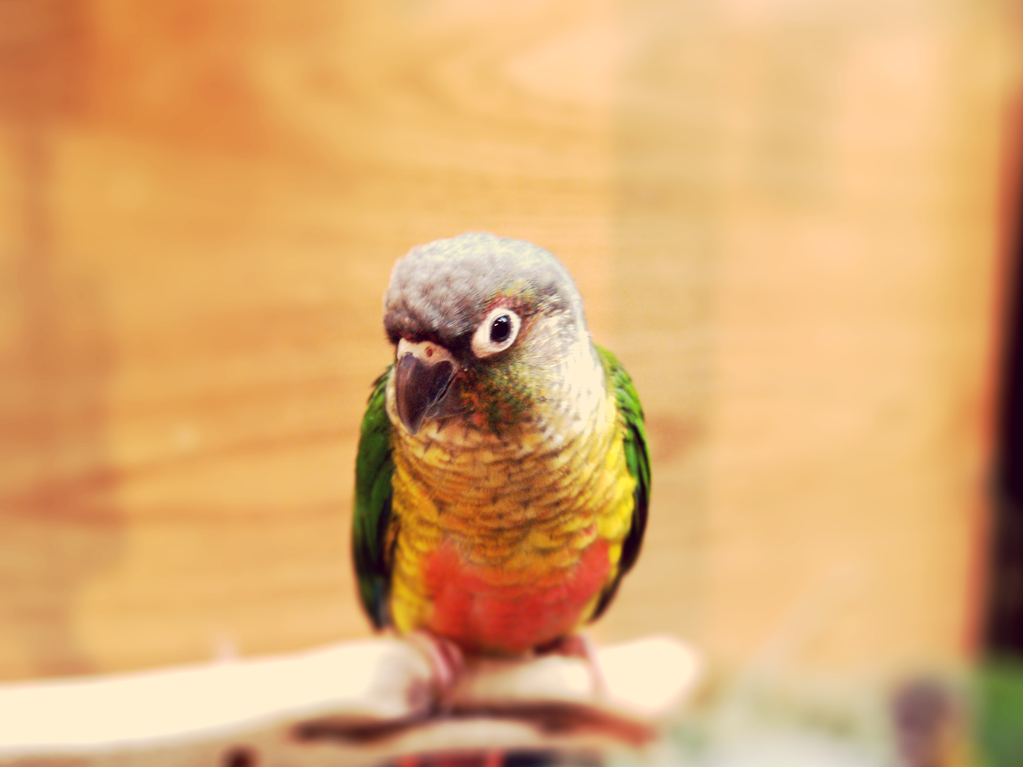 Yellow Breasted Conure